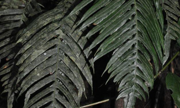 Lomaridium ensiforme