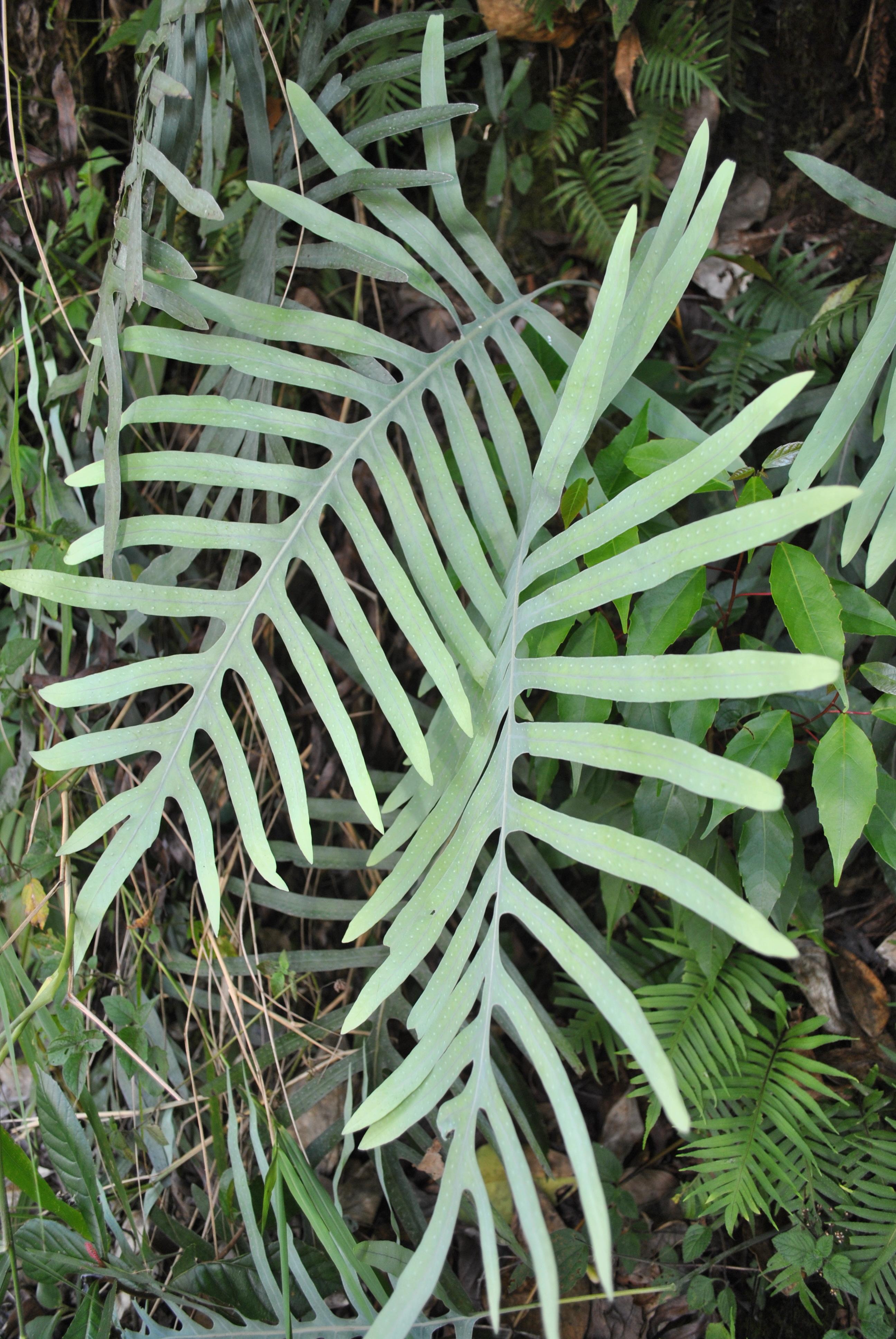Phlebodium areolatum