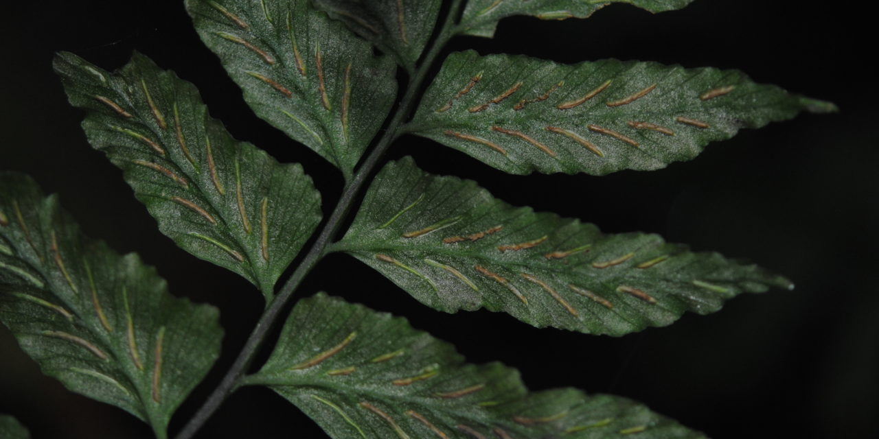 Hymenasplenium riparium
