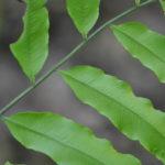 Lomariopsis recurvata