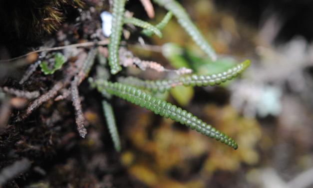 Melpomene moniliformis