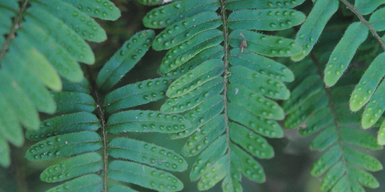 Pleopeltis polypodioides var. acicularis