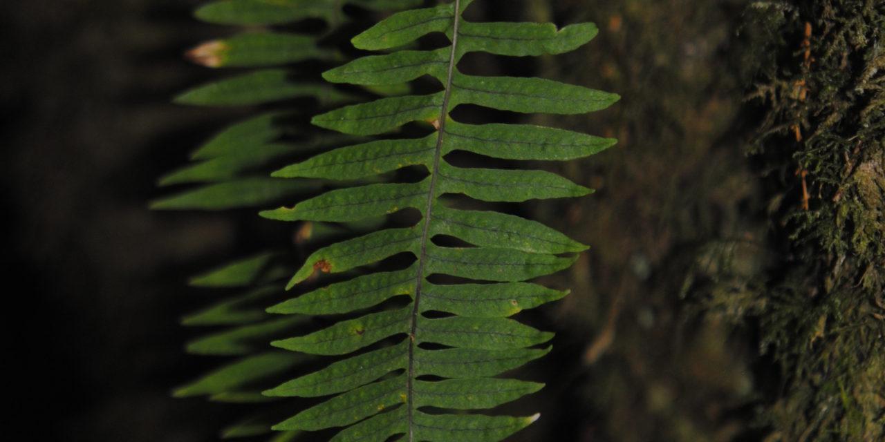 Polypodium  arcanum var. bakeri