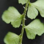 Polystichum orbiculatum