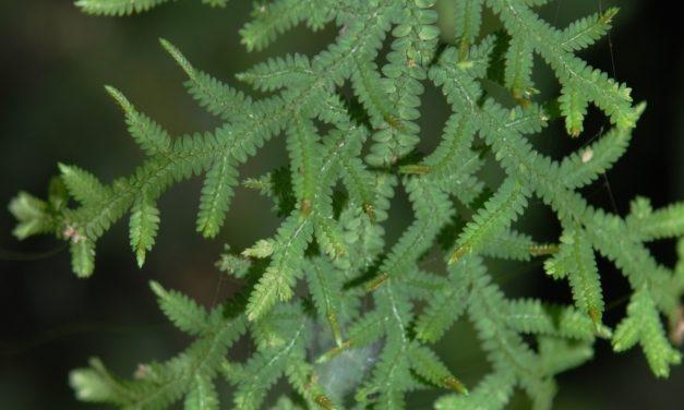 Selaginella subrugosa