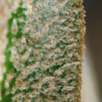 Elaphoglossum engelii
