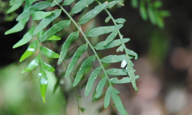 Pleopeltis segregatum