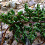 Cheilanthes acrostica