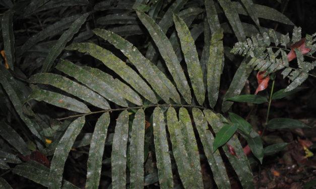 Saccoloma elegans subsp. chartaceum