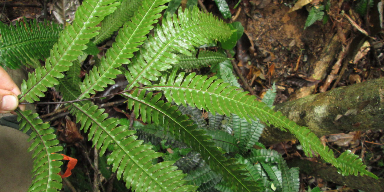 Pteris pungens