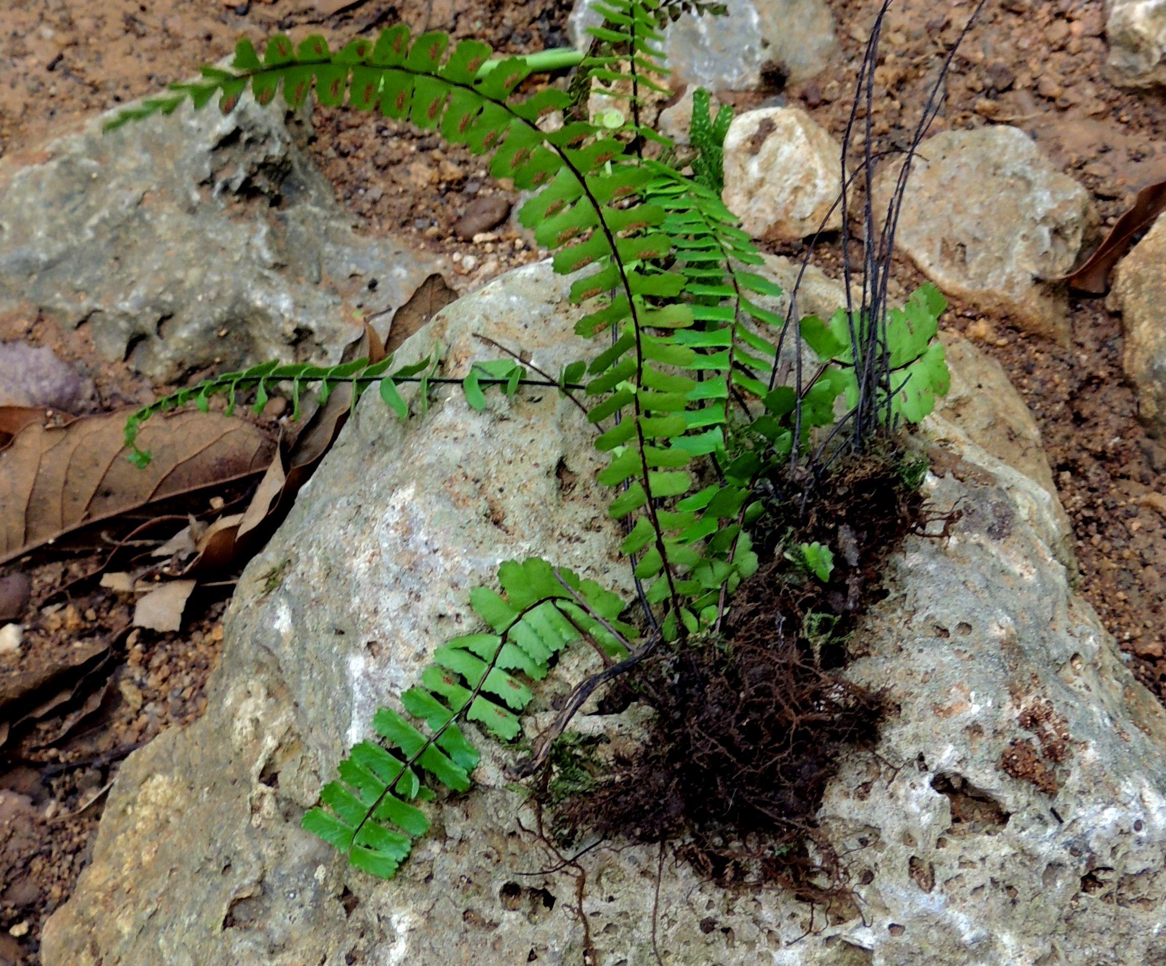 Asplenium monanthes