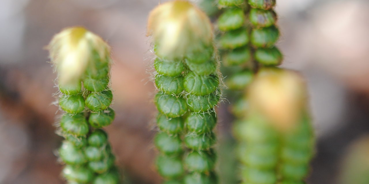 Jamesonia rotundifolia