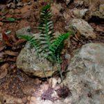 Pleopeltis guttata