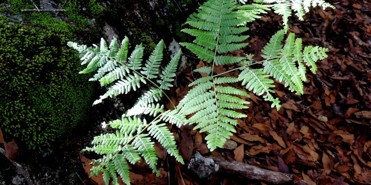 Pteridium aquilinum var. feei