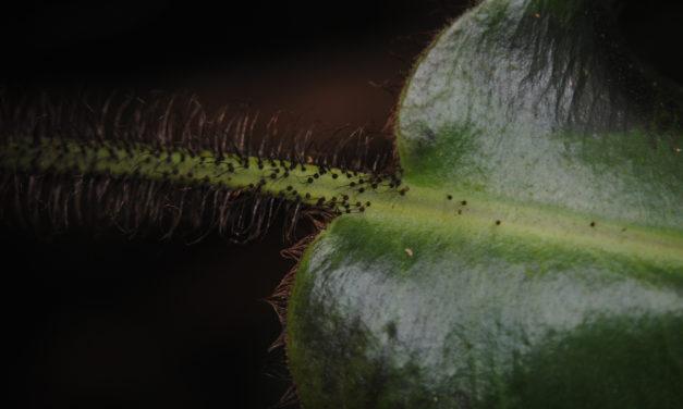 Elaphoglossum crinitum