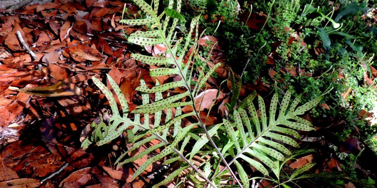 Pleopeltis plebeia