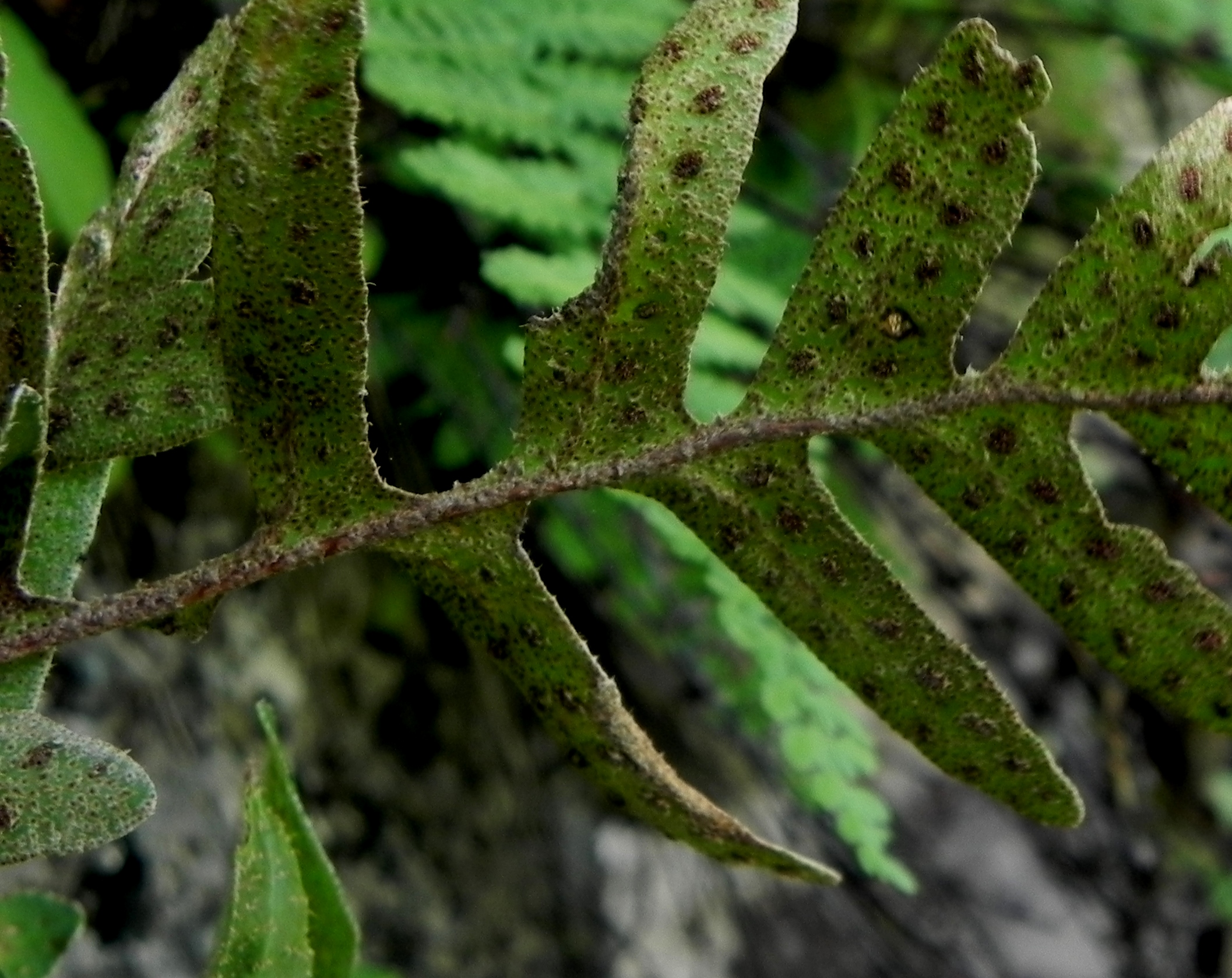 Pleopeltis thyssanolepis