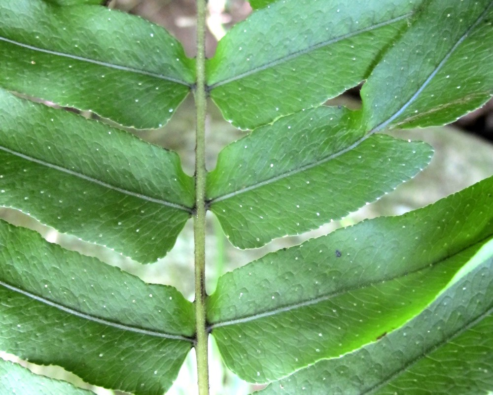 Serpocaulon meniscifolium