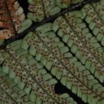Dryopteris wallichiana