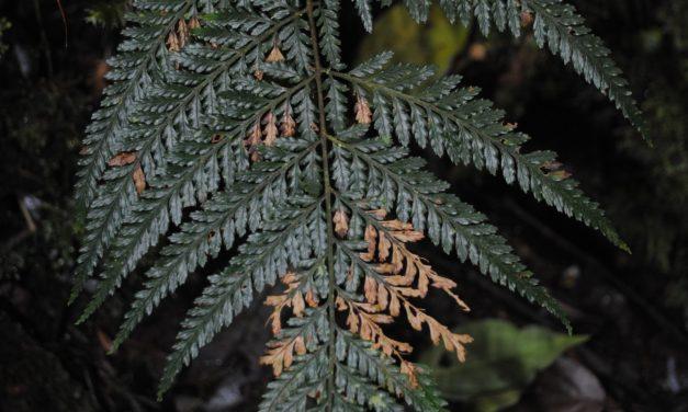 Parapolystichum novoguineense