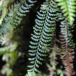 Tomophyllum secundum