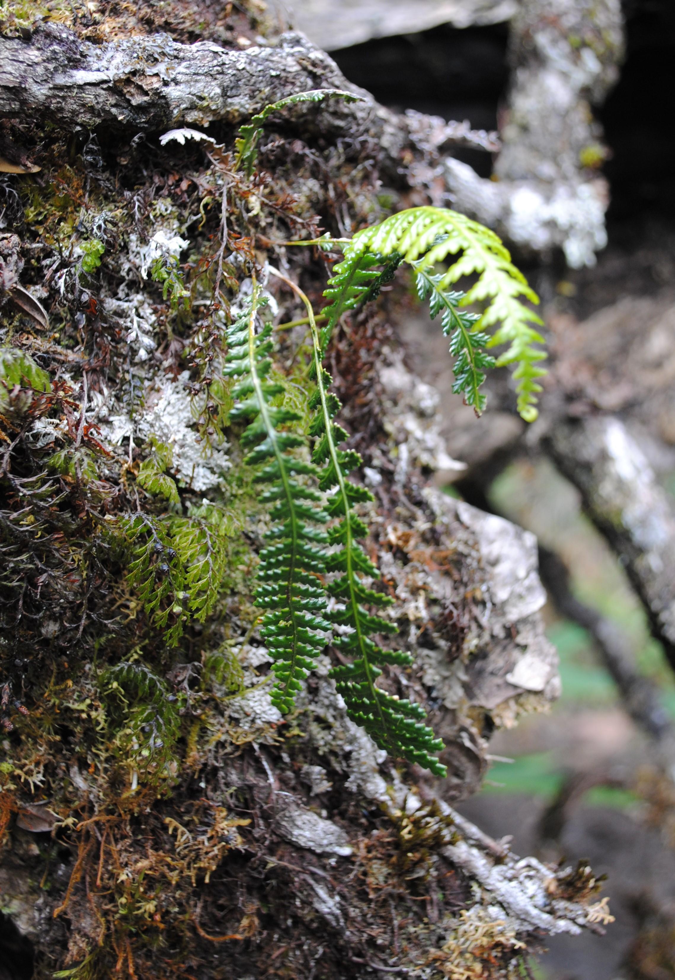 Ctenopterella sp.