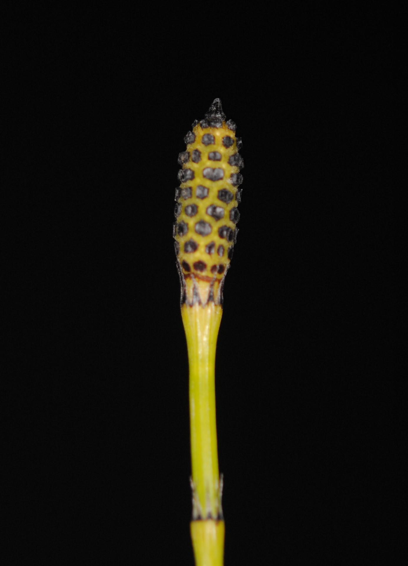 Equisetum ramosissimum var. debile