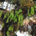 Hymenophyllum ooides
