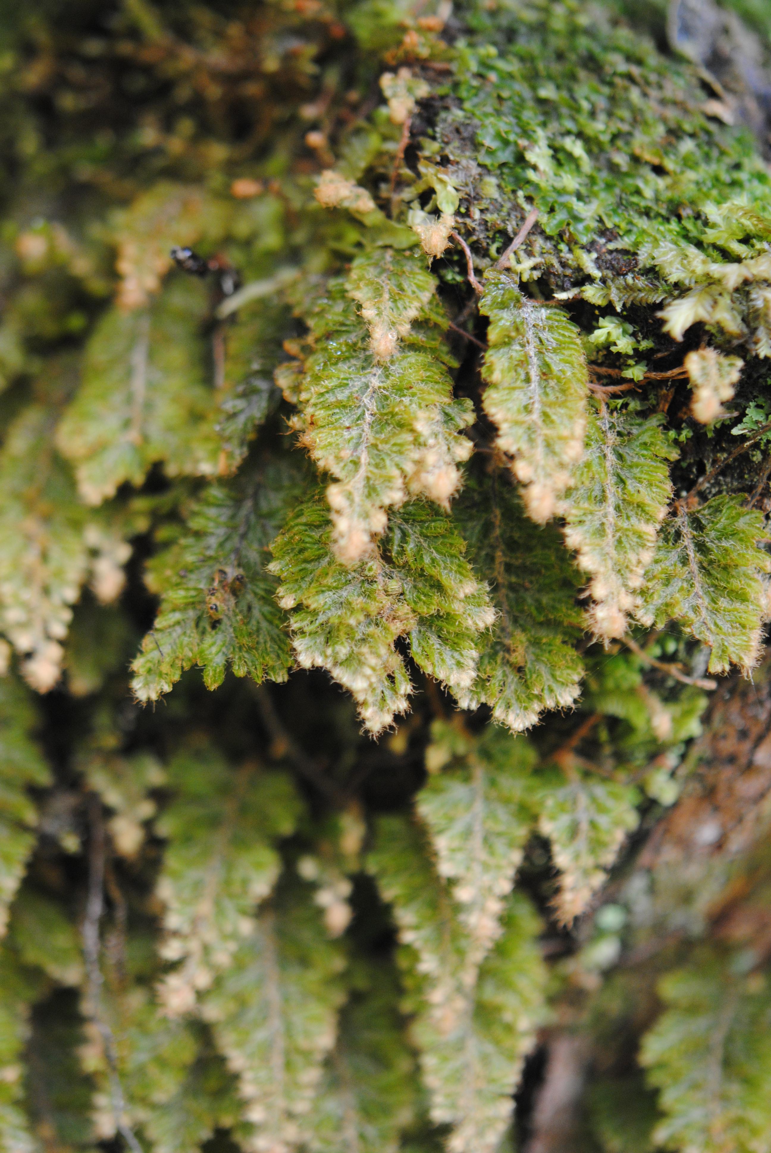 Hymenophyllum rubellum