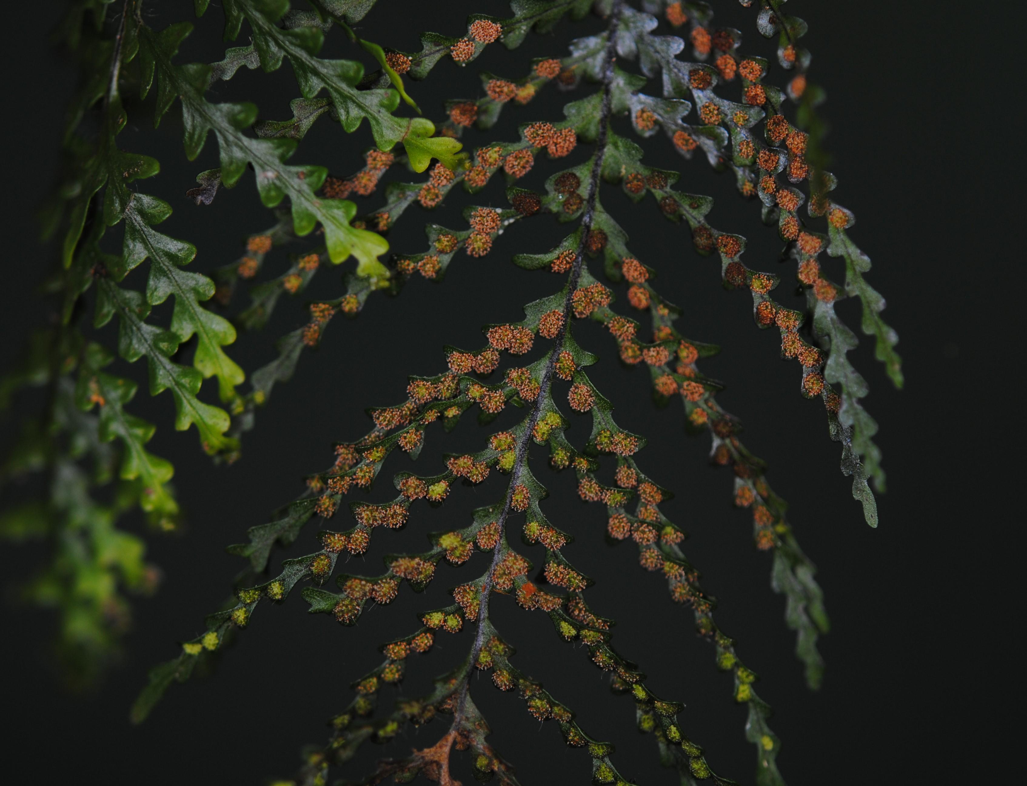 Tomophyllum foersteri