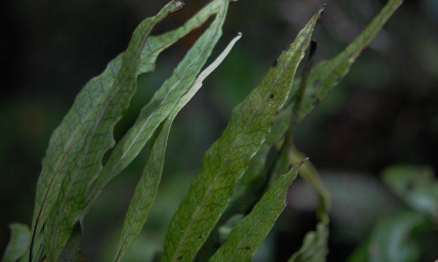 Lepisorus novoguineensis