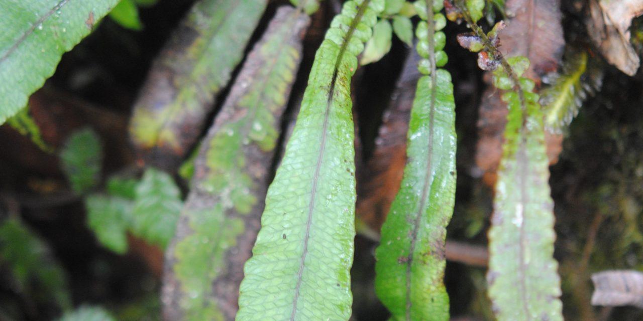 Pronephrium womersleyii