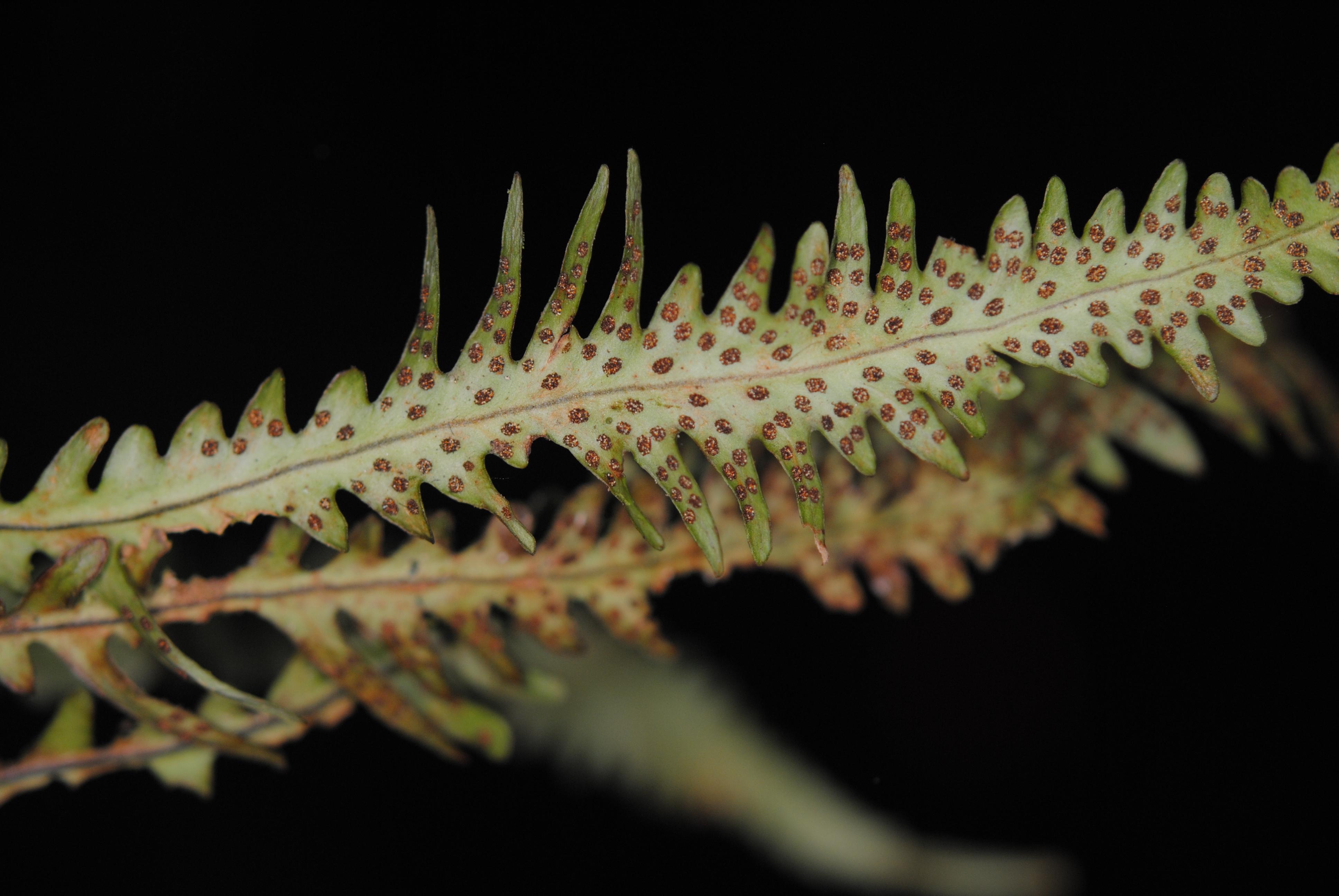 Oreogrammitis longiceps x O. sumatrana