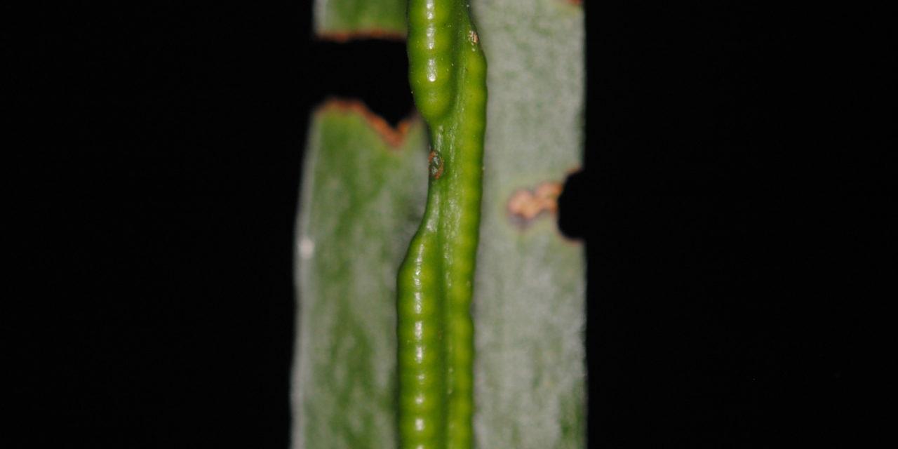 Ophioderma pendula