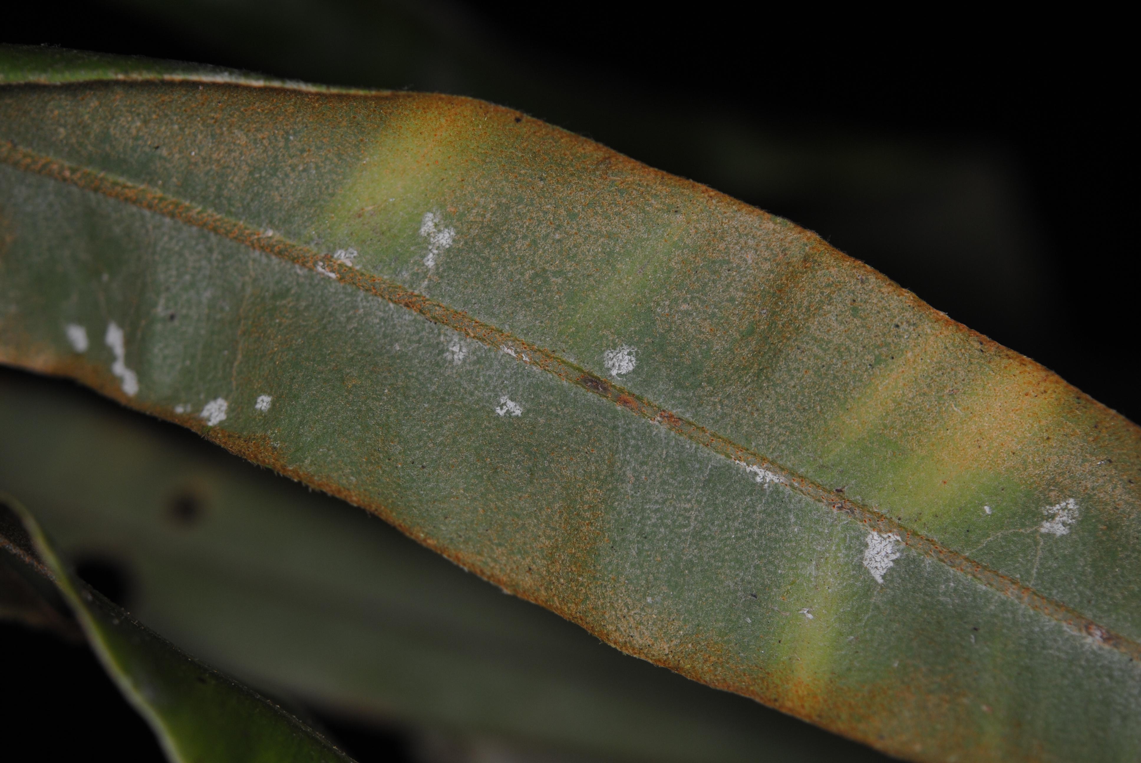 Elaphoglossum cuspidatum