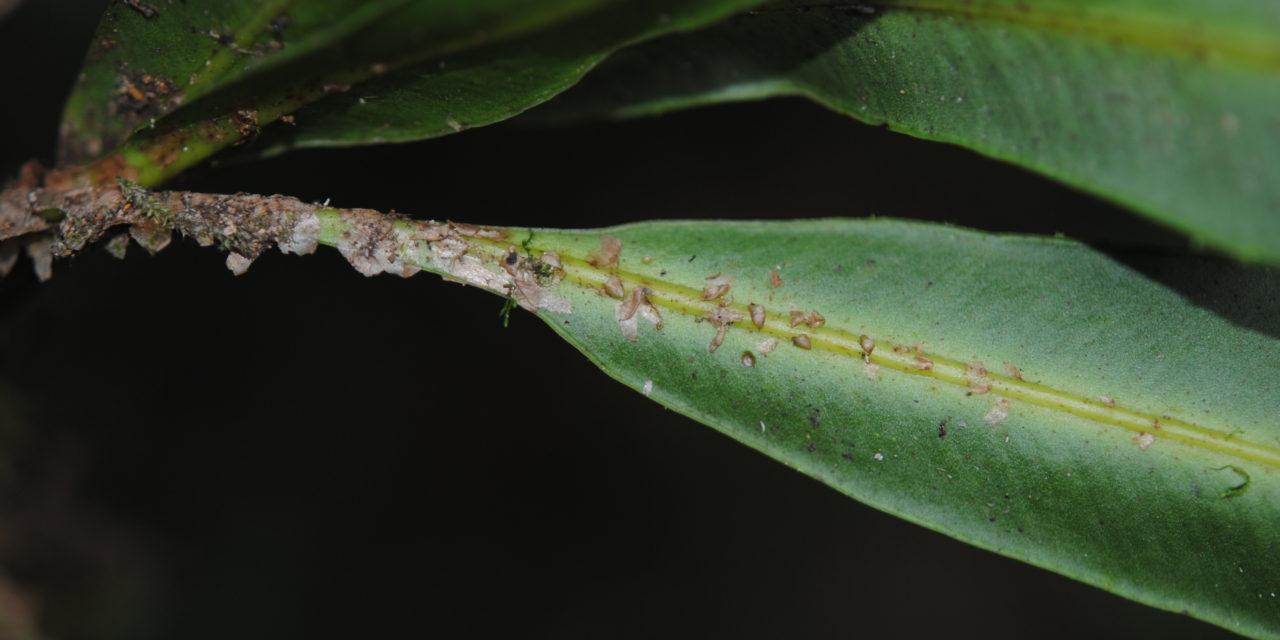 Elaphoglossum tonduzii
