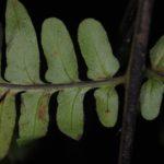 Dennstaedtia coronata