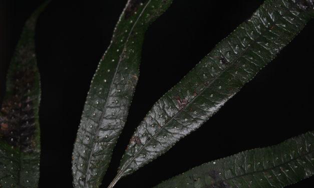 Selliguea alibidosquamata
