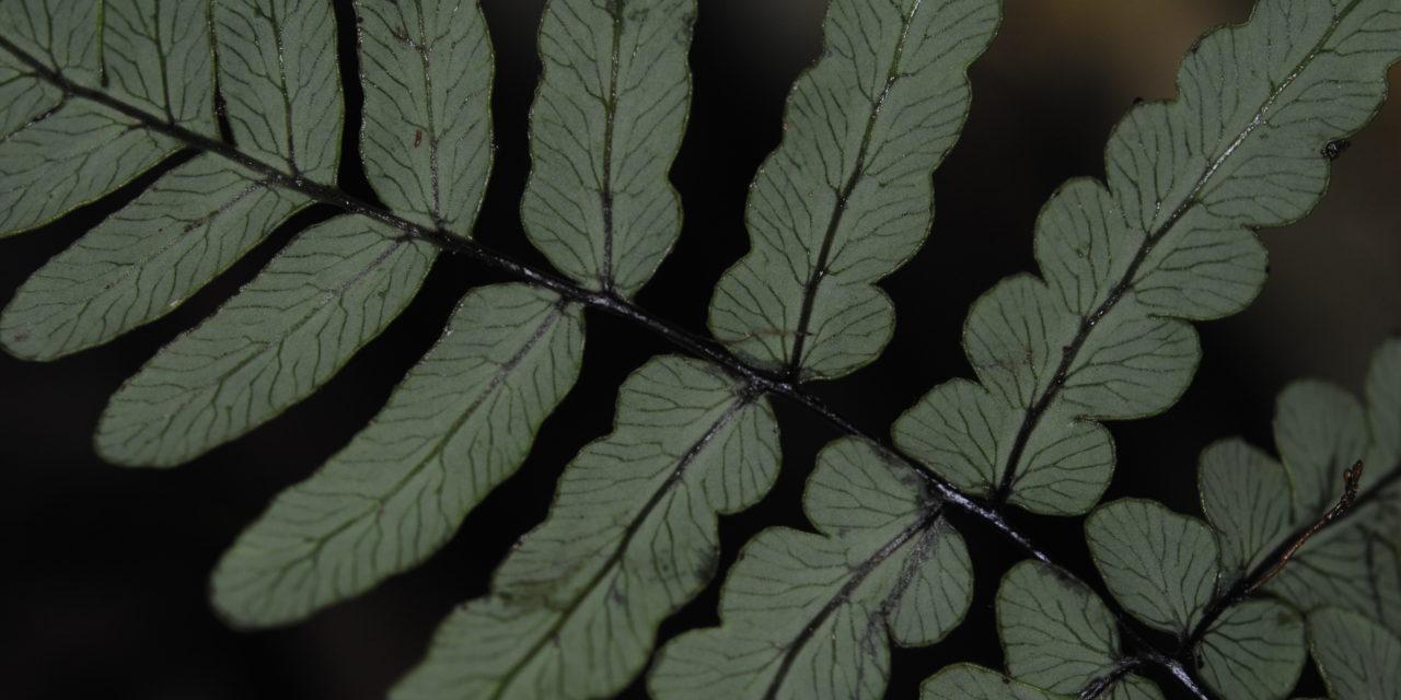 Histiopteris estipulata
