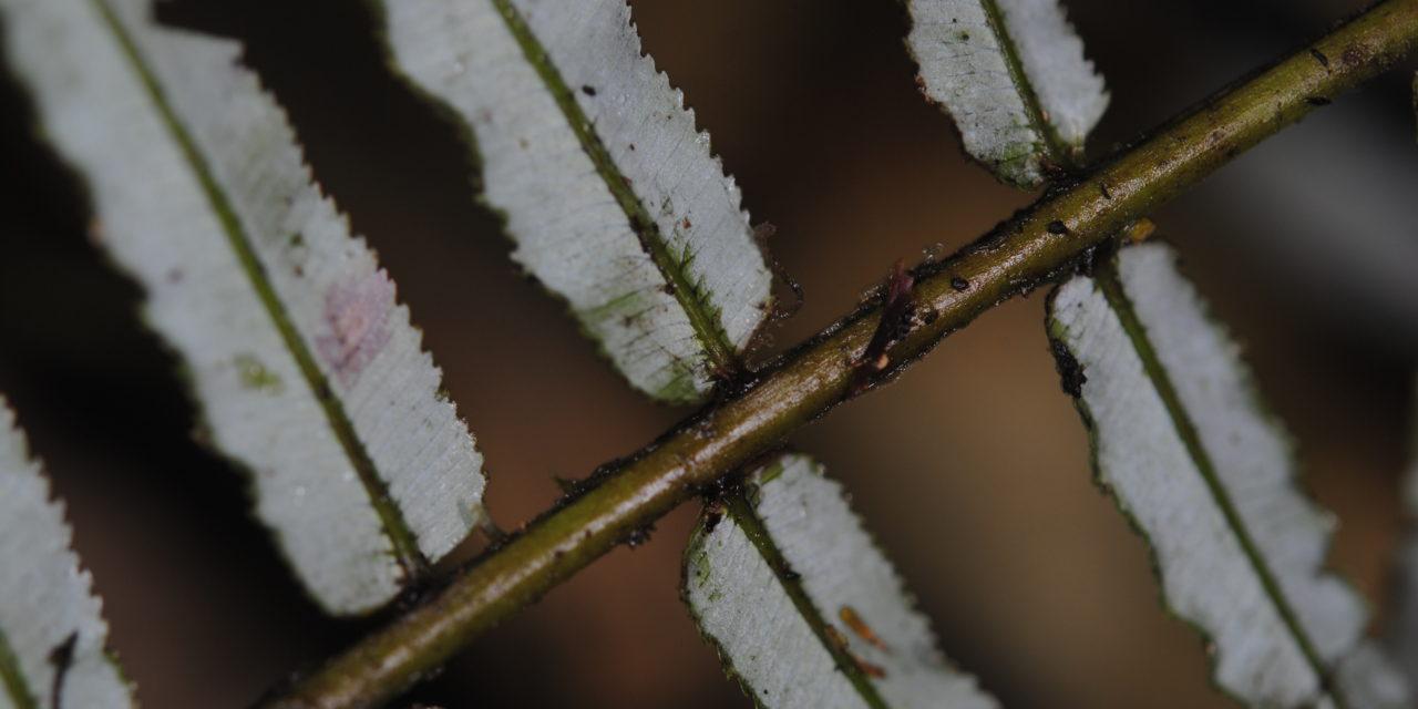 Plagiogyria glauca