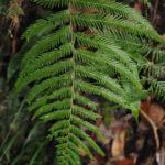 Tapeinidium novoguineense