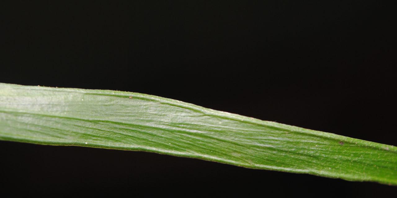 Haplopteris zosterifolia