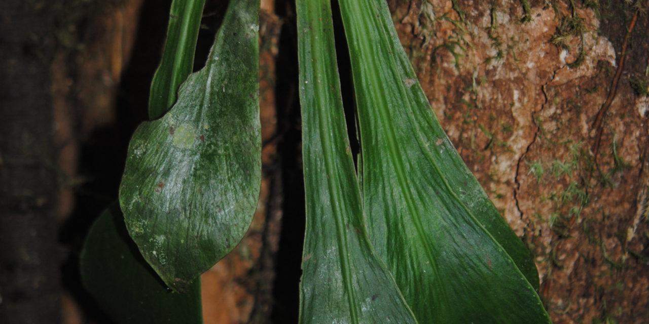 Antrophyum semicostatum