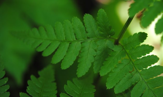 Dryopteris x dowellii