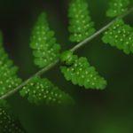 Cystopteris bulbifera