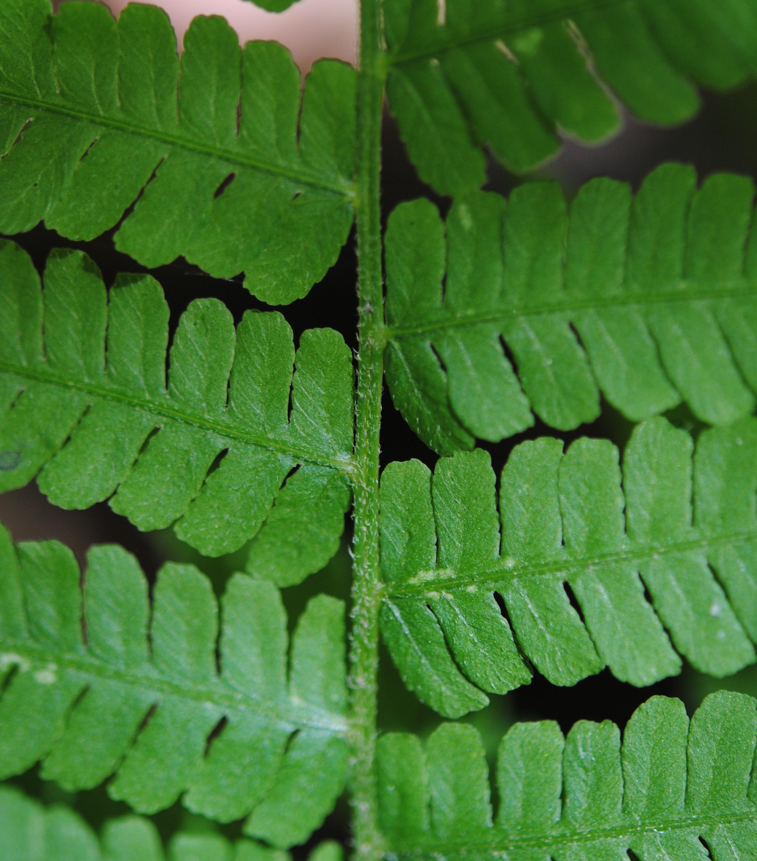 Deparia acrostichoides