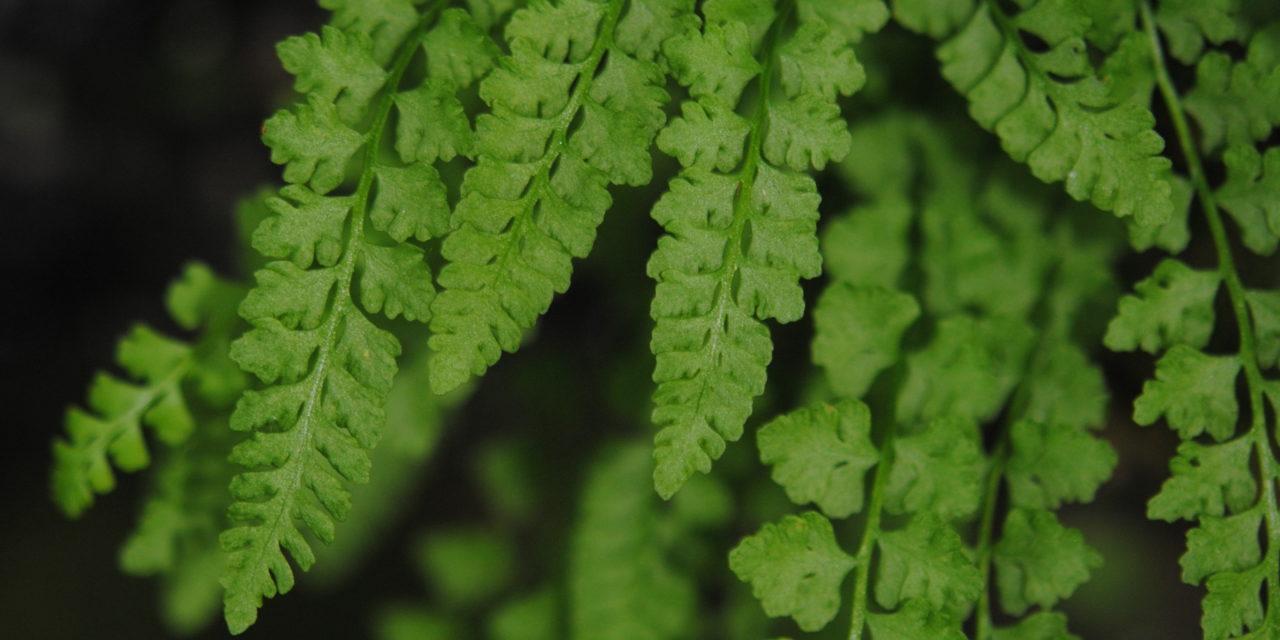 Woodsia glabella