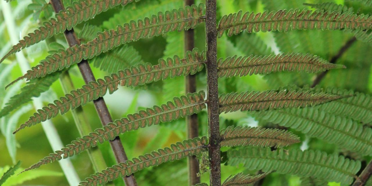 Cyathea bipinnatifida