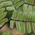 Diplazium pseudocyatheifolium