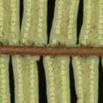 Sticherus nigropaleaceus